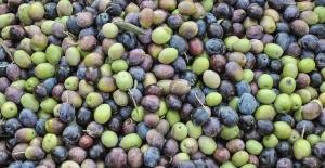 Her gün 7 zeytin 1 incir yemenin faydaları nelerdir?